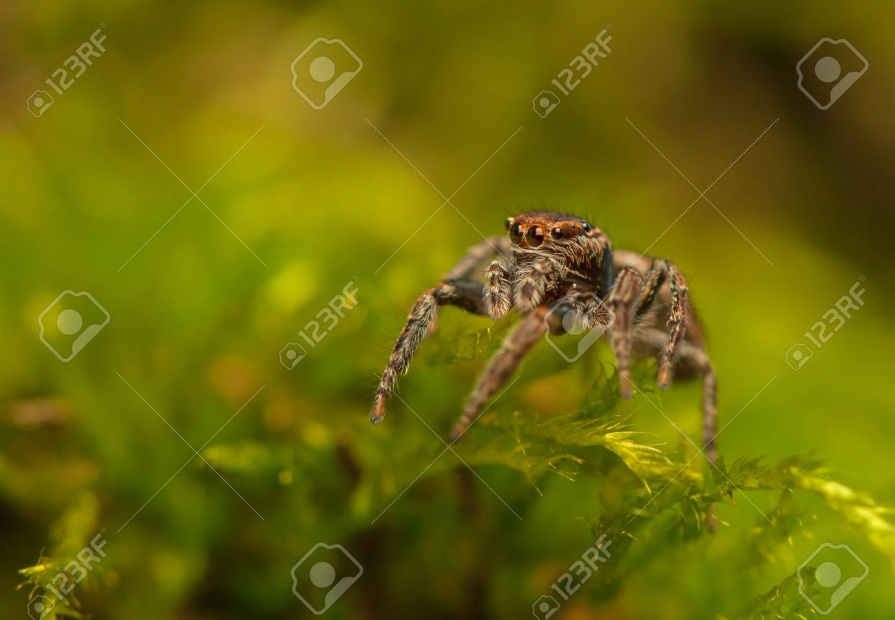Evarcha - Jumping spider Stock Photo - 22772196