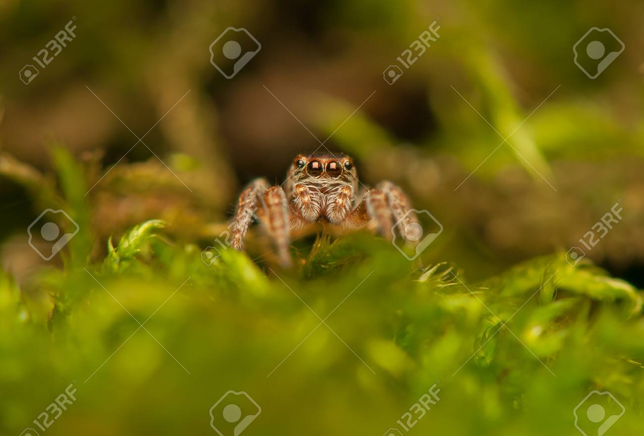 Evarcha - Jumping spider Stock Photo - 22772204