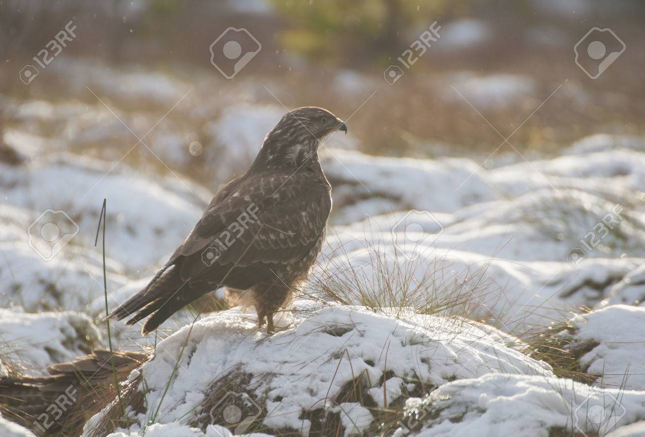Buzzard Stock Photo - 24342347