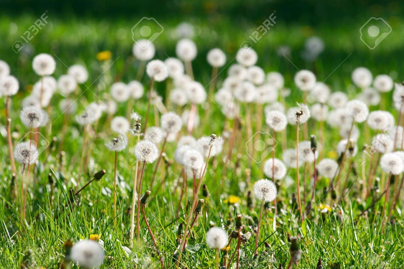 Green field with dandelions, narrow, dof, only some blown one in focus Stock Photo - 895208