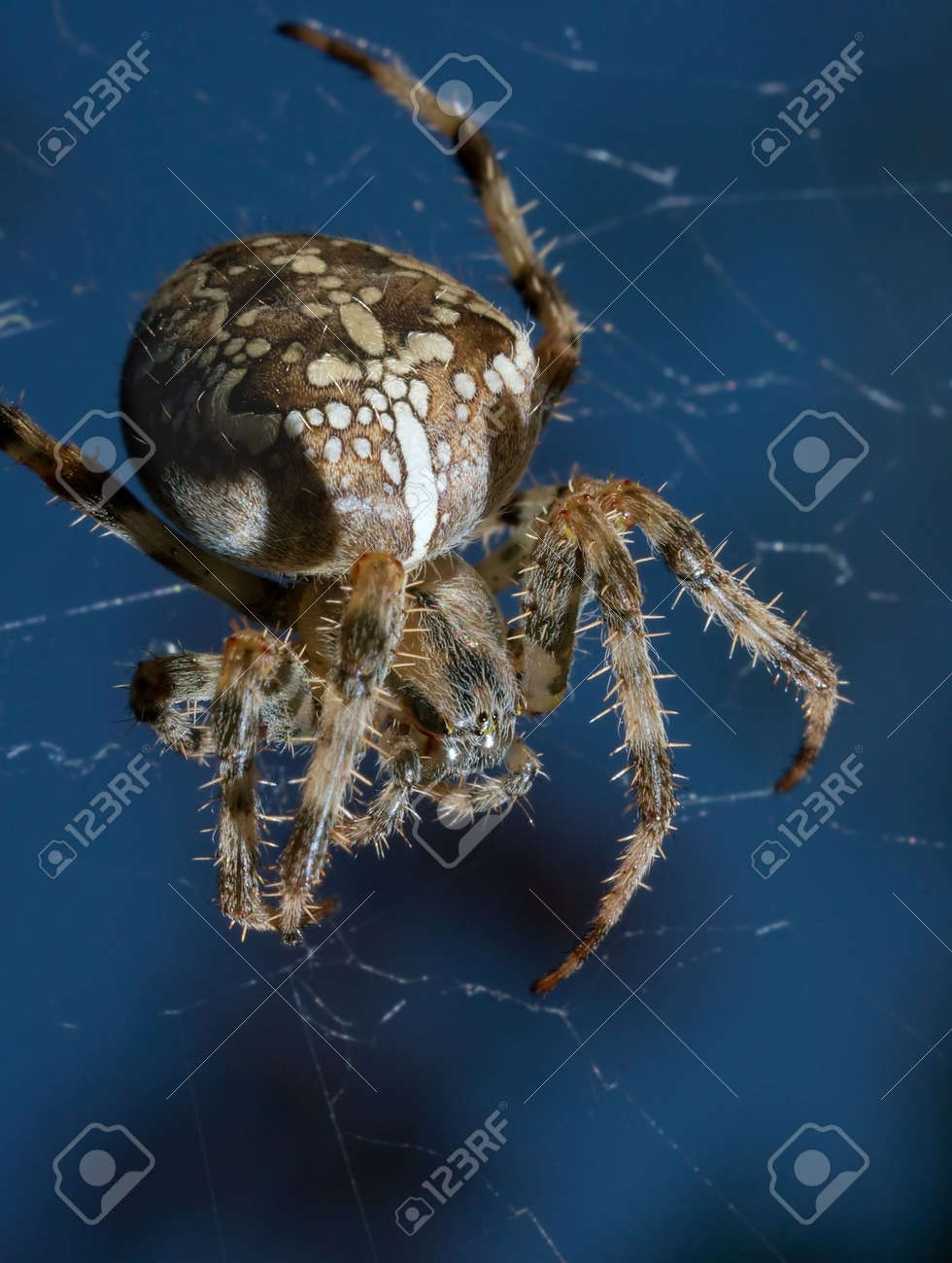 Closeup of a cross spider in its web Stock Photo - 2330129