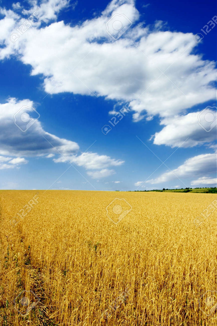 Wheat field with blue sky and clouds Stock Photo - 2678002