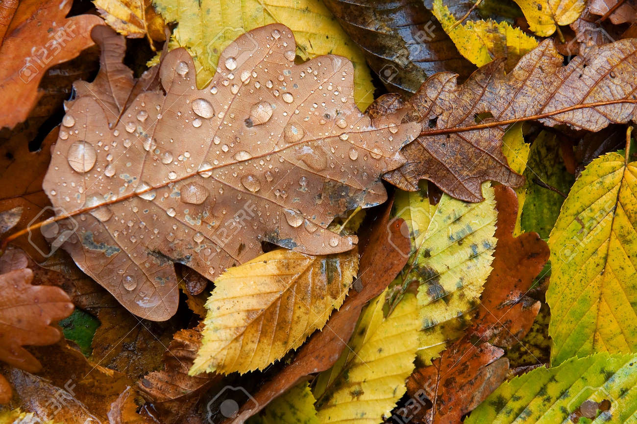 autumn leaves with water drops images u0026 stock pictures royalty
