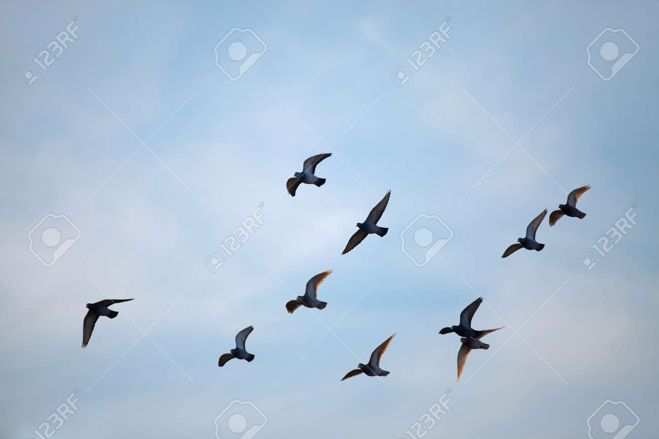 flock of birds flying in the sky stock photo picture and royalty