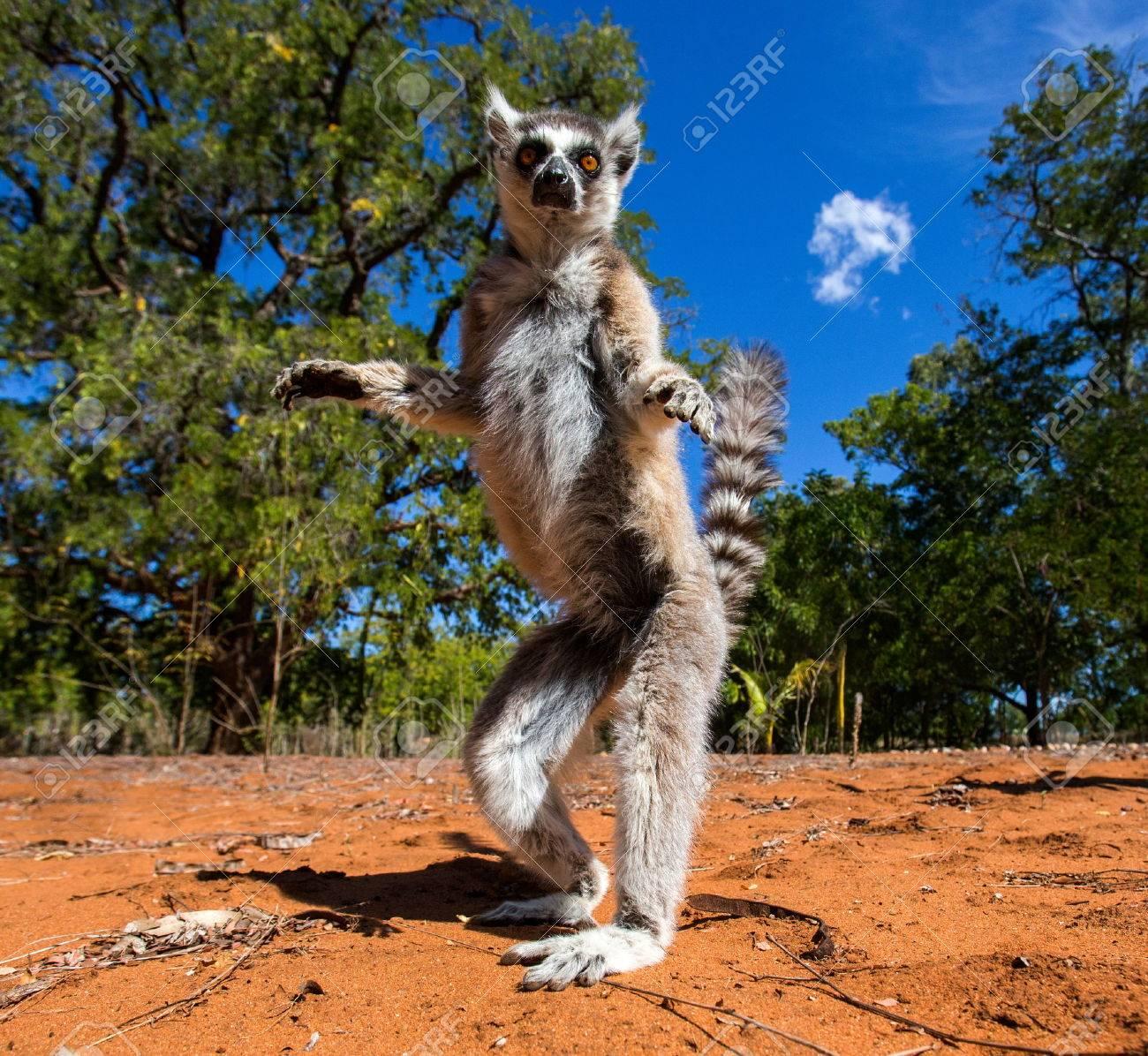 マダガスカルのワオキツネザル ...
