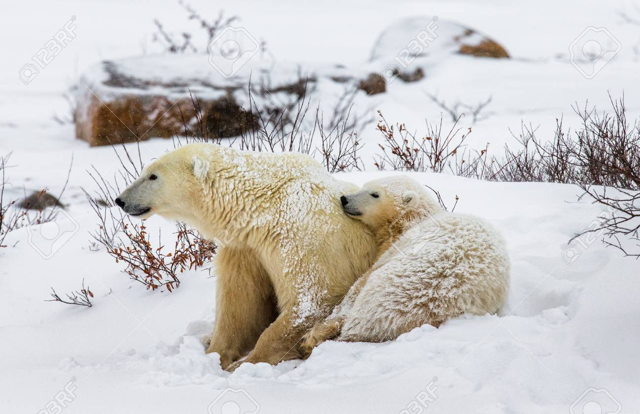 Polar Bear Lying In Snow In The Tundra. Canada. Churchill National.. Stock  Photo, Picture And Royalty Free Image. Image 63574214.