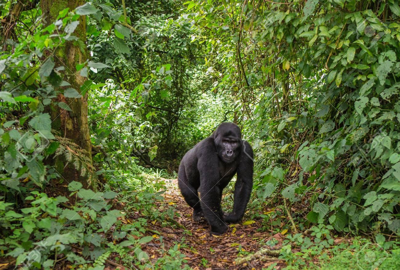 Dominant male mountain gorilla in rainforest. Uganda. - 65086039