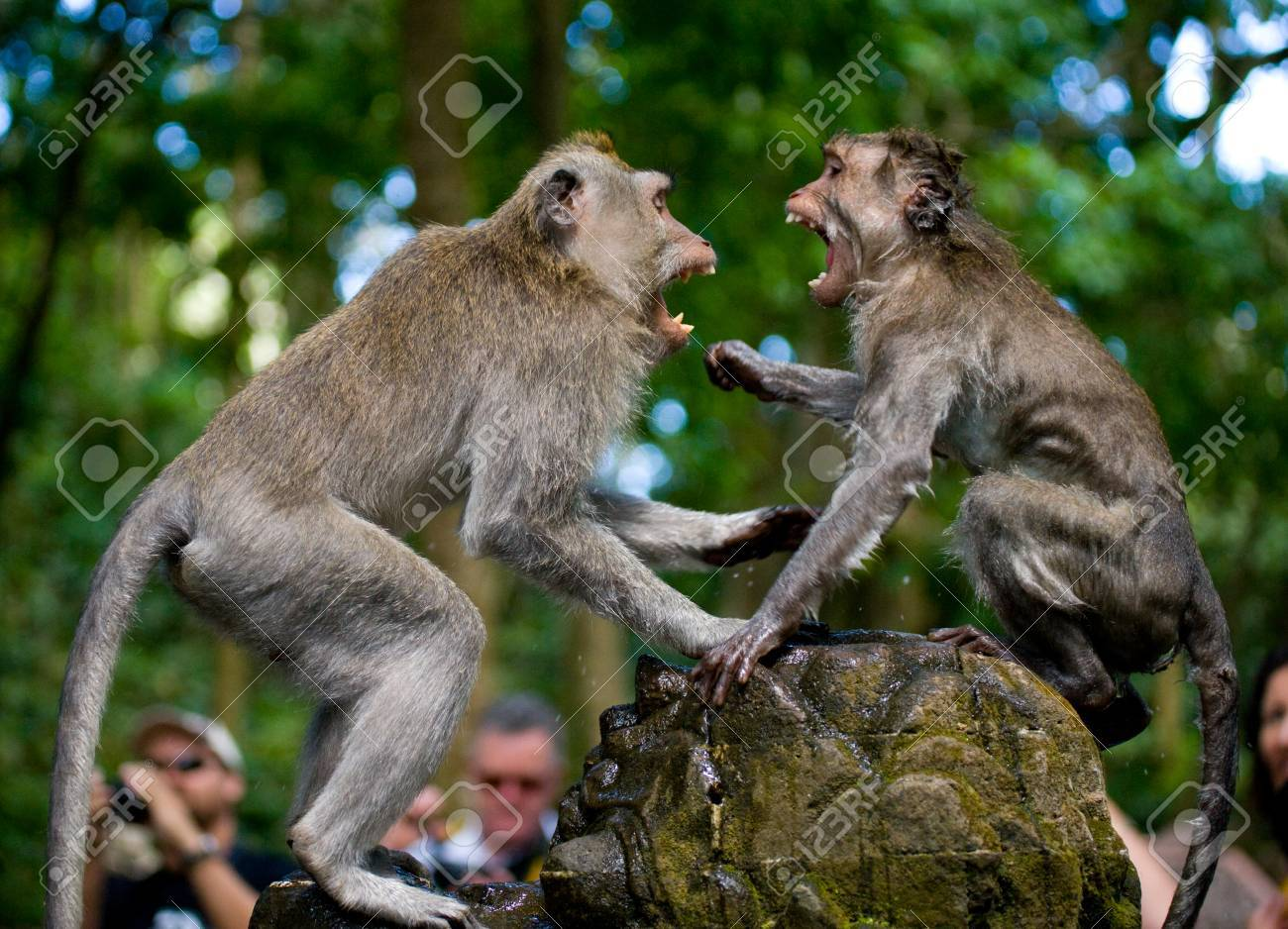 2 Macaques、マカク属寺院で互い...