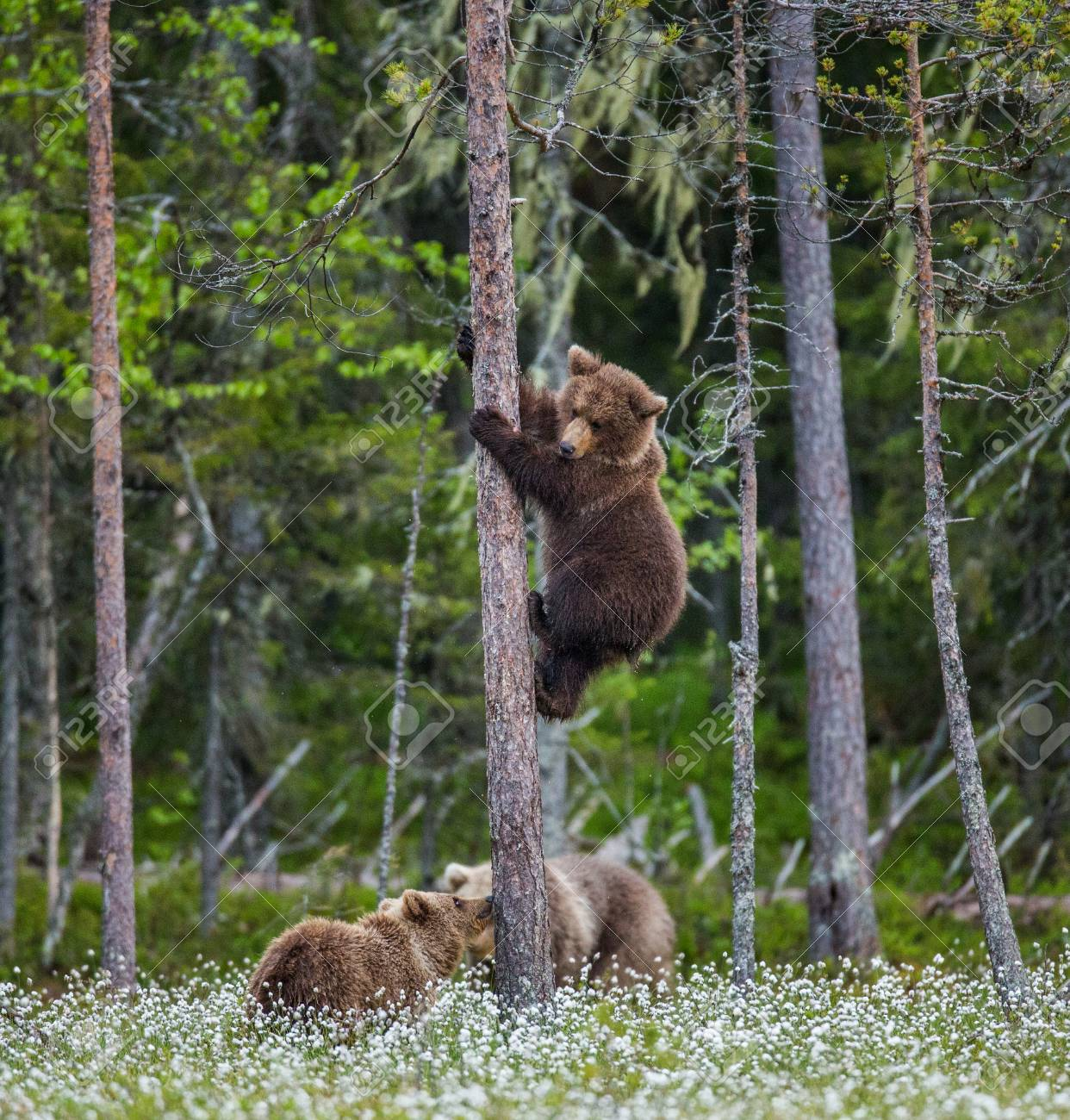Young Bears In A Clearing Among The White Flowers On A Background ...