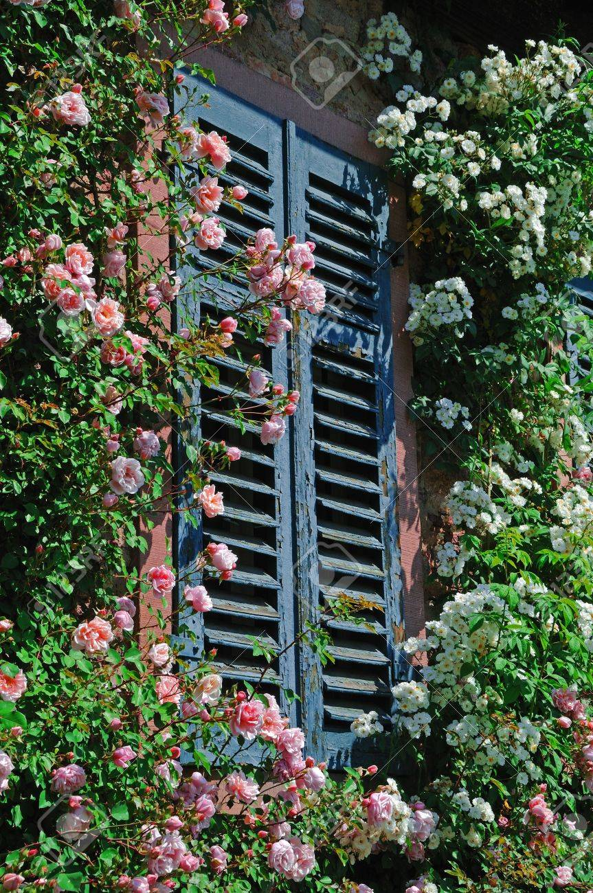 Climbing Roses Many Rose Flowers In Pink And White Climbing On A Wall Of A  House