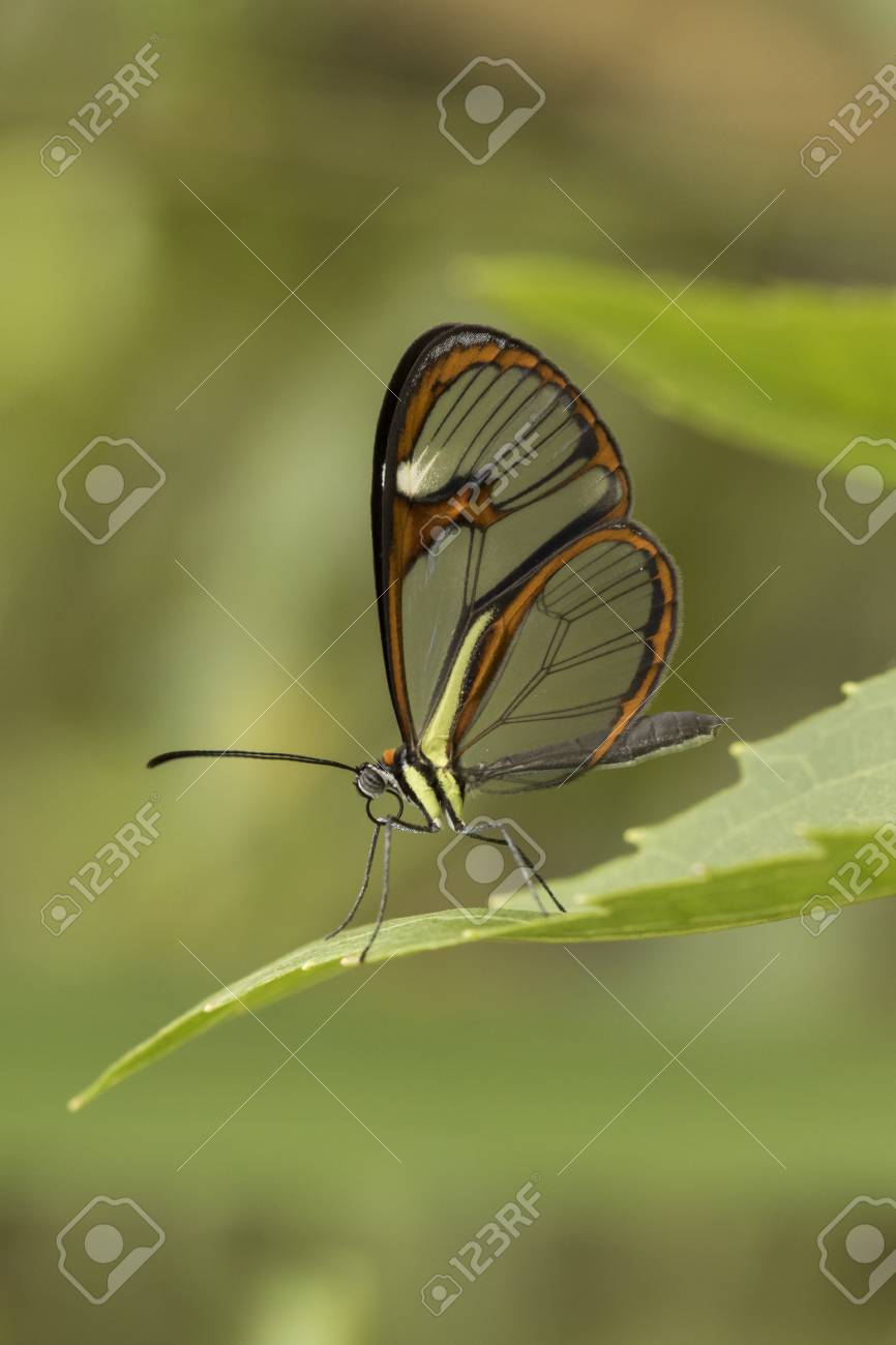 Glasswinged Butterfly Stock Photo Picture And Royalty Free Image