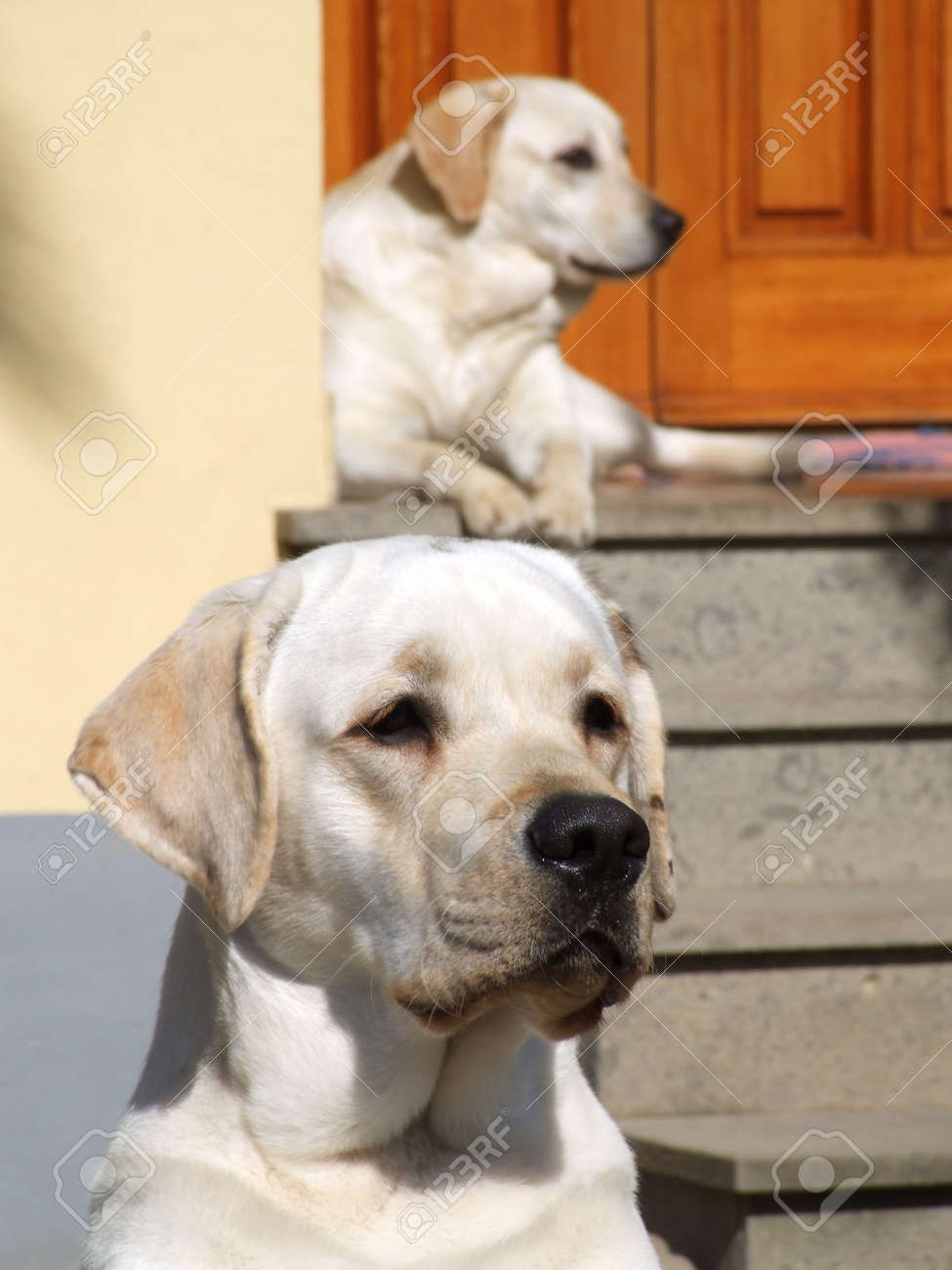 Two white dogs in front of a house's door Stock Photo - 2920708
