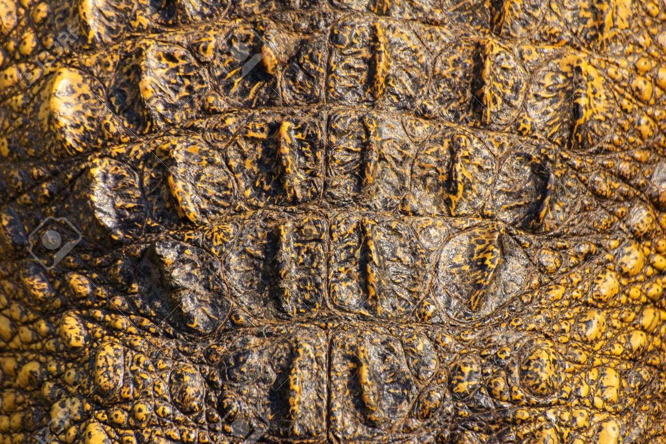 Crocodile skin texture  Shot in Thailand Stock Photo - 25442444