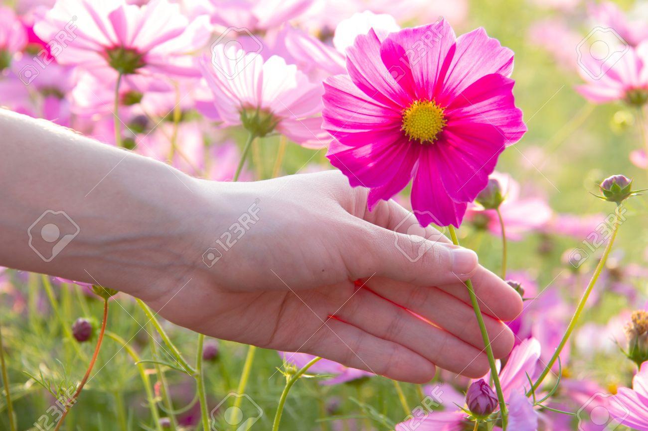 Woman hand grabbing pink cosmos flower stock photo picture and stock photo woman hand grabbing pink cosmos flower mightylinksfo