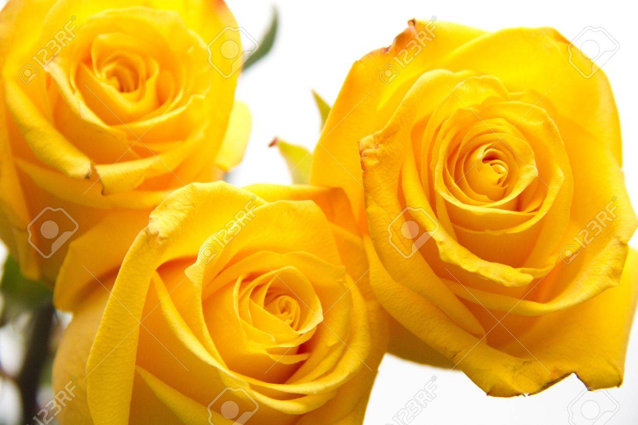 Yellow roses on white background Stock Photo - 16829286