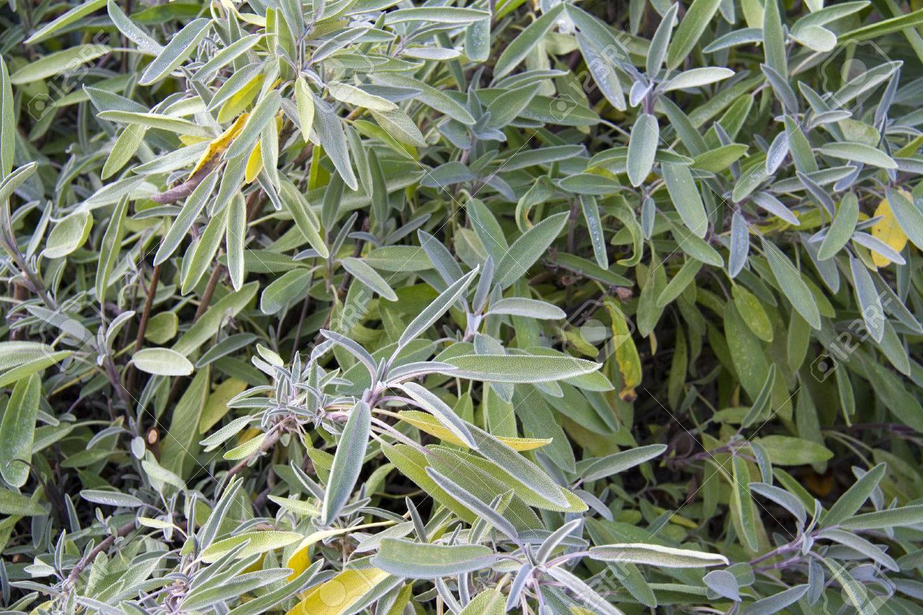 Kräuter Und Lebensmittelzutaten Sehen Von Salbei Im Garten Standard Bild    23862612