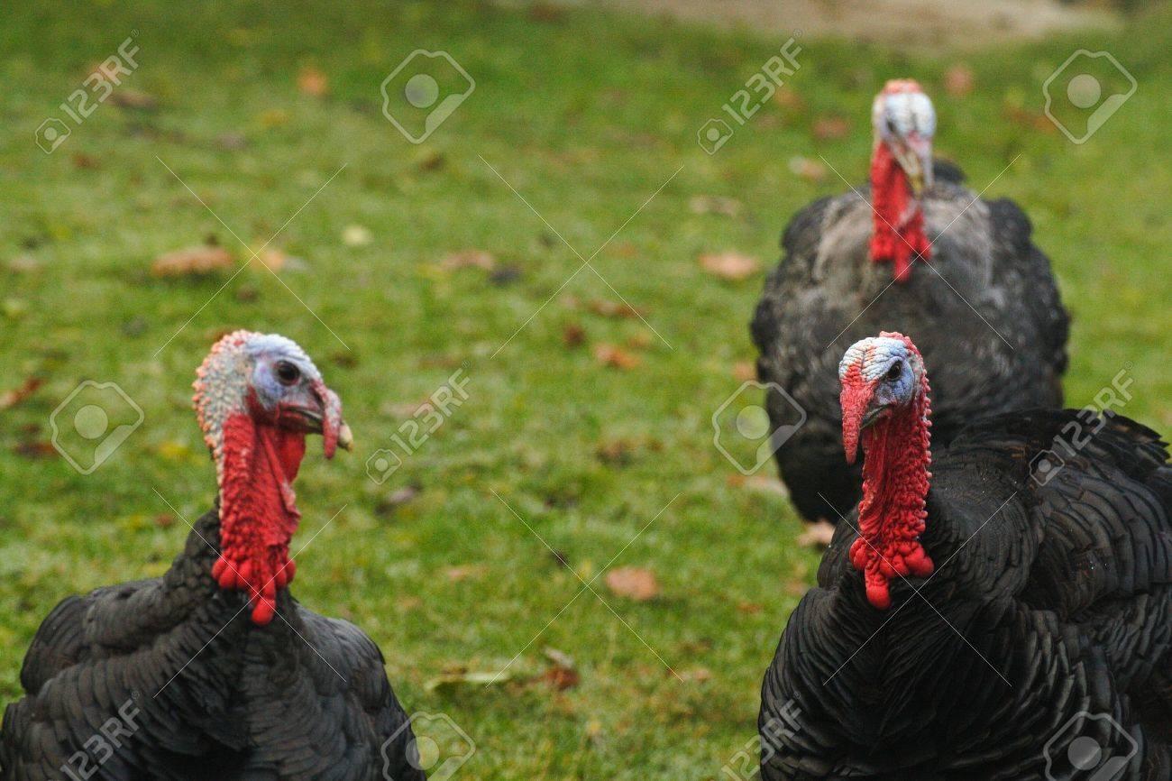 Turkeys waiting for christmas dinner Stock Photo - 16049599