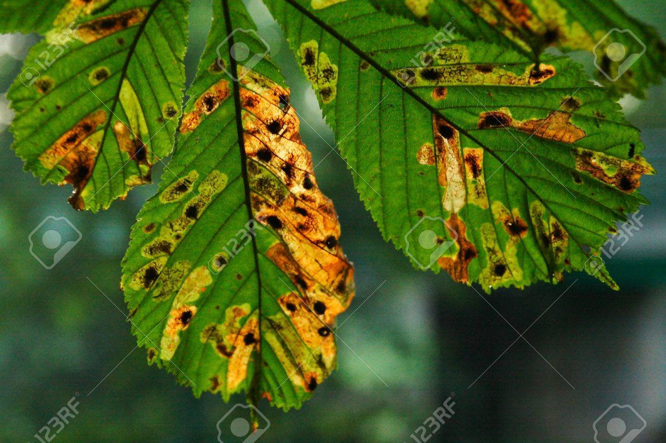 horse-chestnut tree leaves in autumn Stock Photo - 16049597