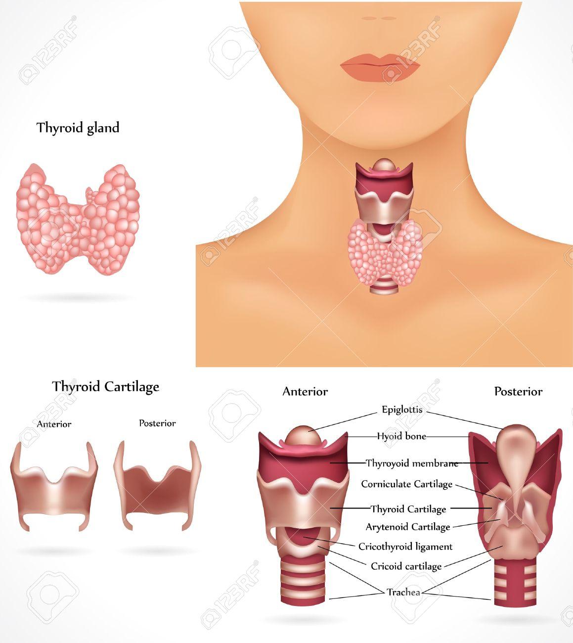 Thyroid gland anatomy Stock Vector - 8976722