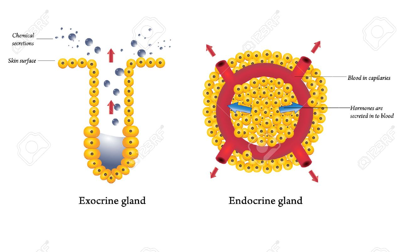 Exocrine And Endocrine Glands Royalty Free Cliparts Vectors And