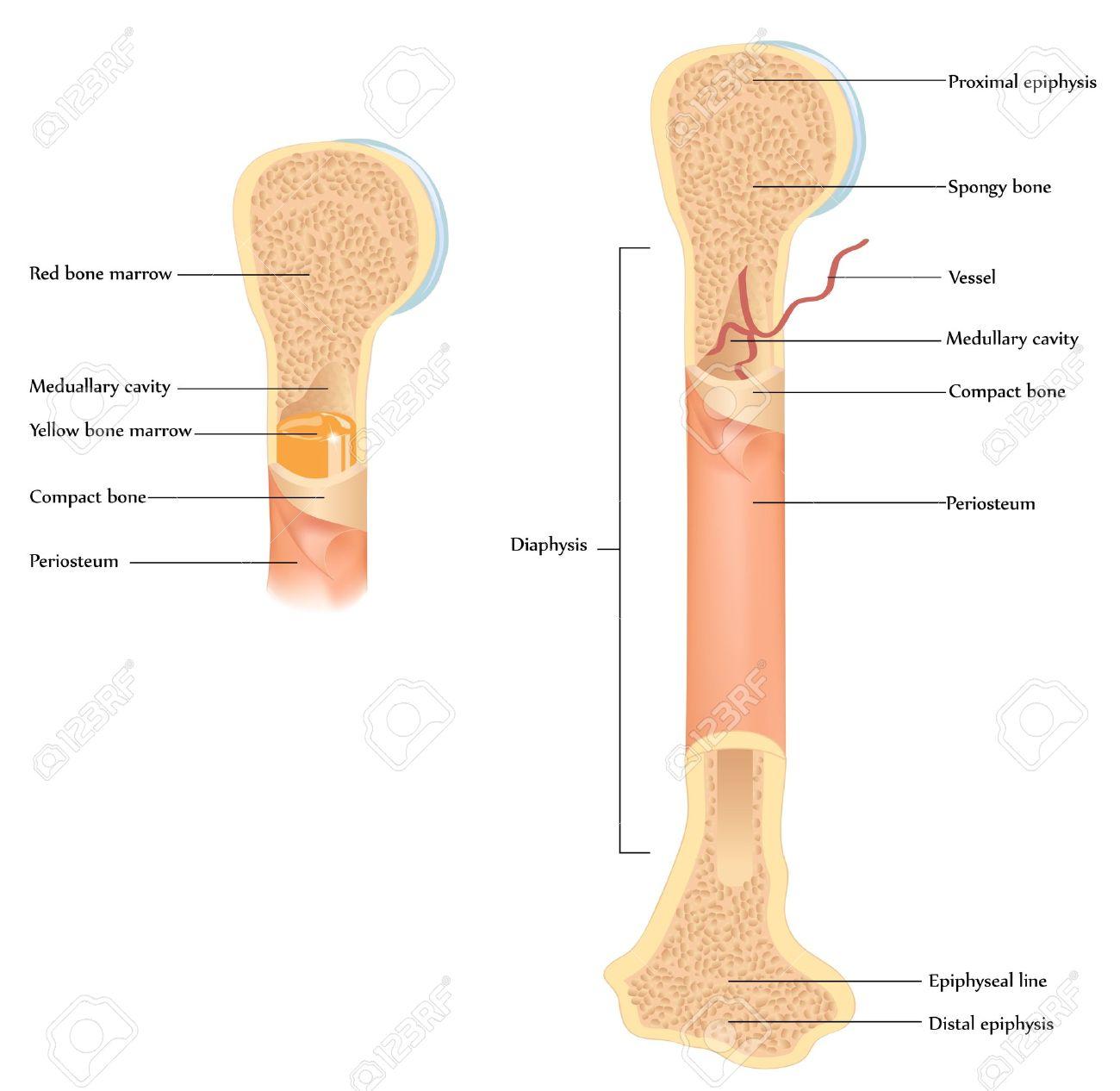 Menselijk Bot Anatomie. Illustratie Van De Gedetailleerde Anatomie ...
