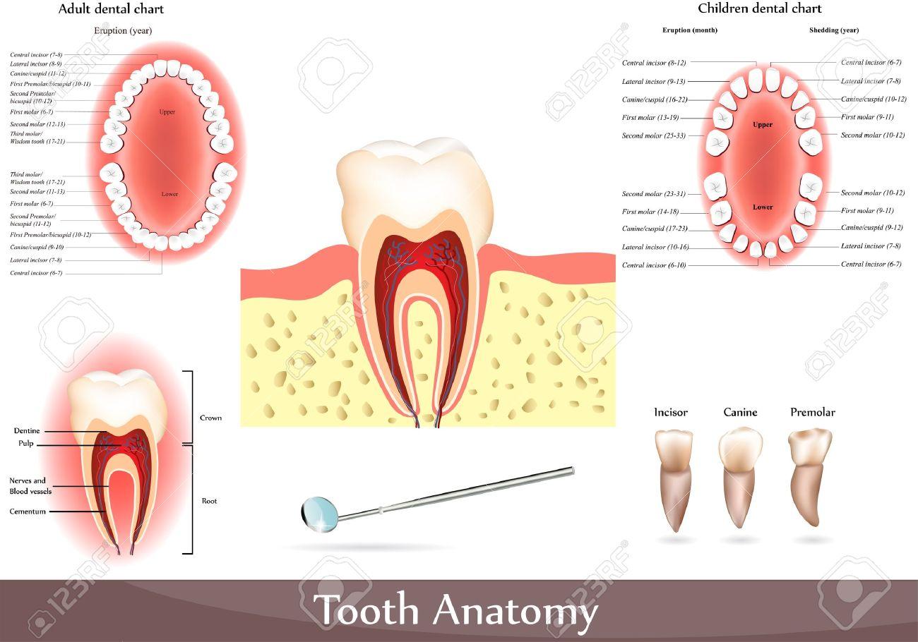 Gran Colección De Diagramas De Anatomía Dental. Bellos Colores ...