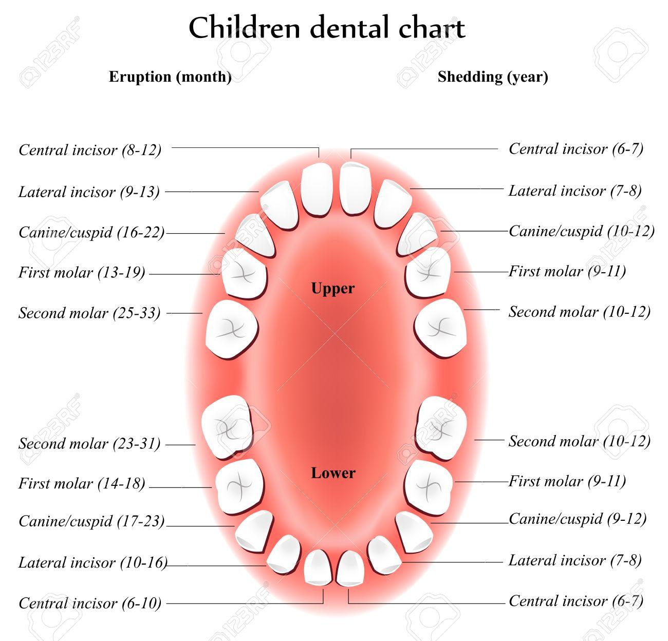 Children Teeth Anatomy. Shows Eruption And Shedding Time. Dental ...