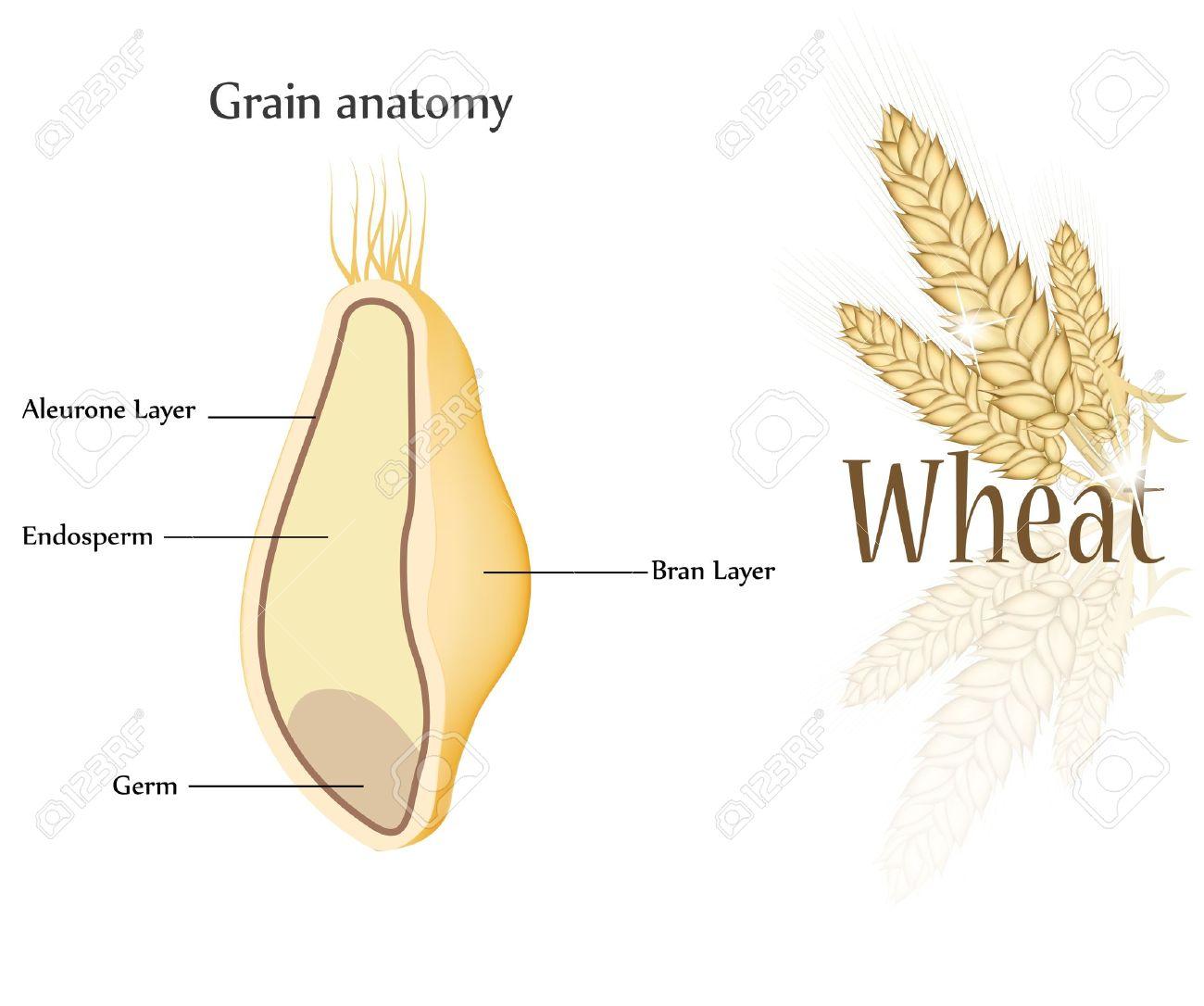 Wheat And Grain Anatomy. Cross Section Of Grain. Endosperm, Aleurone ...