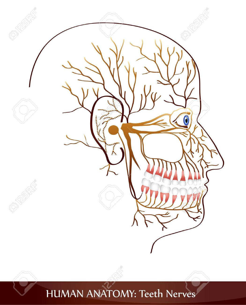 Teeth Nerves. Detailed Diagram. Royalty Free Cliparts, Vectors, And ...