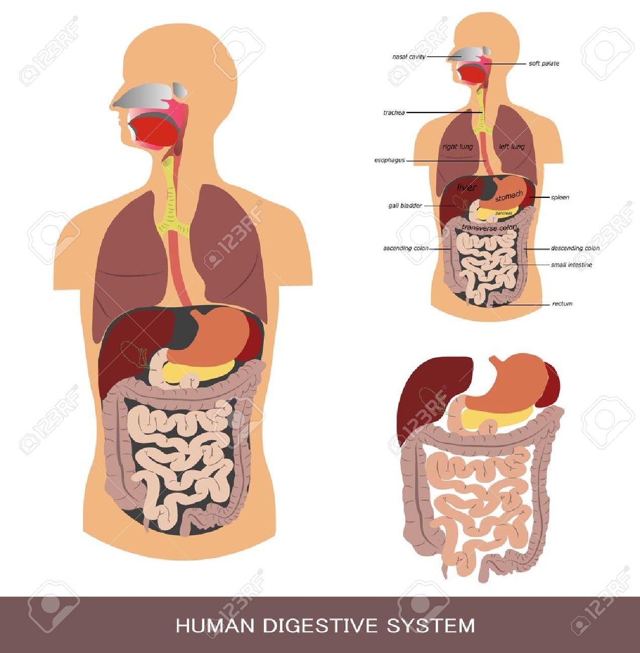 Digestive system, detailed medical illustration. Stock Vector - 11066826
