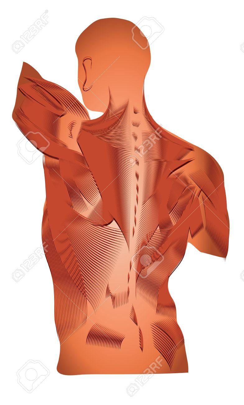 La Anatomía Humana De Un Diagrama Detallado De Los Músculos Músculos ...