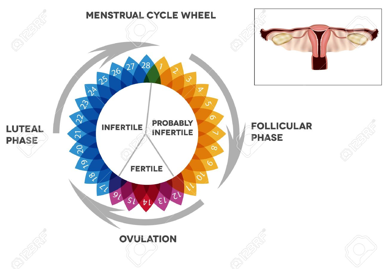 Menstrual cycle calendar detailed diagram of female menstrual menstrual cycle calendar detailed diagram of female menstrual cycle period illustrated female reproductive organs stock vector ccuart Image collections