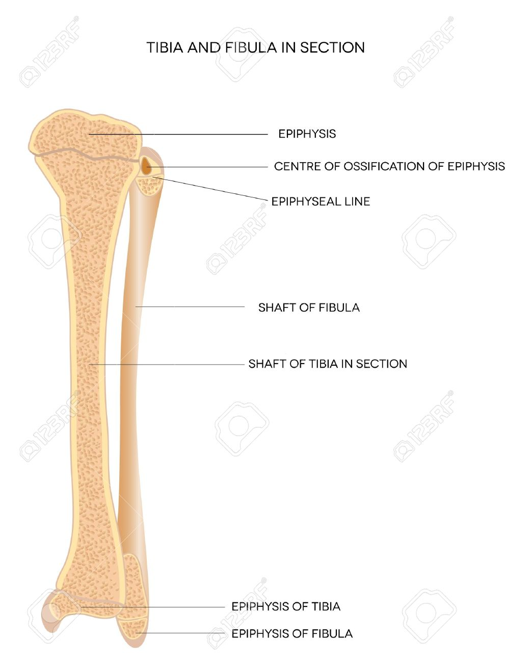 Tibia Und Fibula Leg Knochen, Detaillierte Abbildung Auf Einem ...