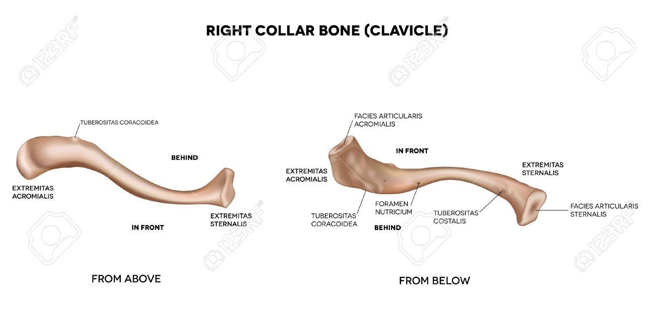 鎖骨の襟骨詳細医療イラスト上からと下の白い背景の上のラテン系の医学