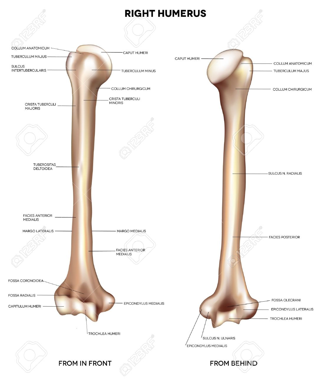 humerus- upper arm bone detailed medical illustration from, Cephalic Vein