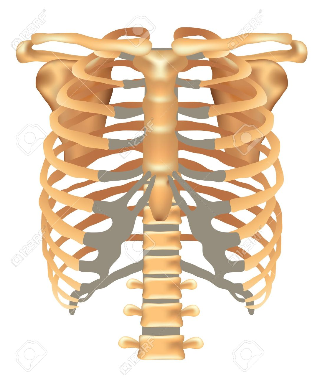 Thorax ribs sternum clavicle scapula vertebral column thorax ribs sternum clavicle scapula vertebral column detailed medical illustration isolated pooptronica Gallery