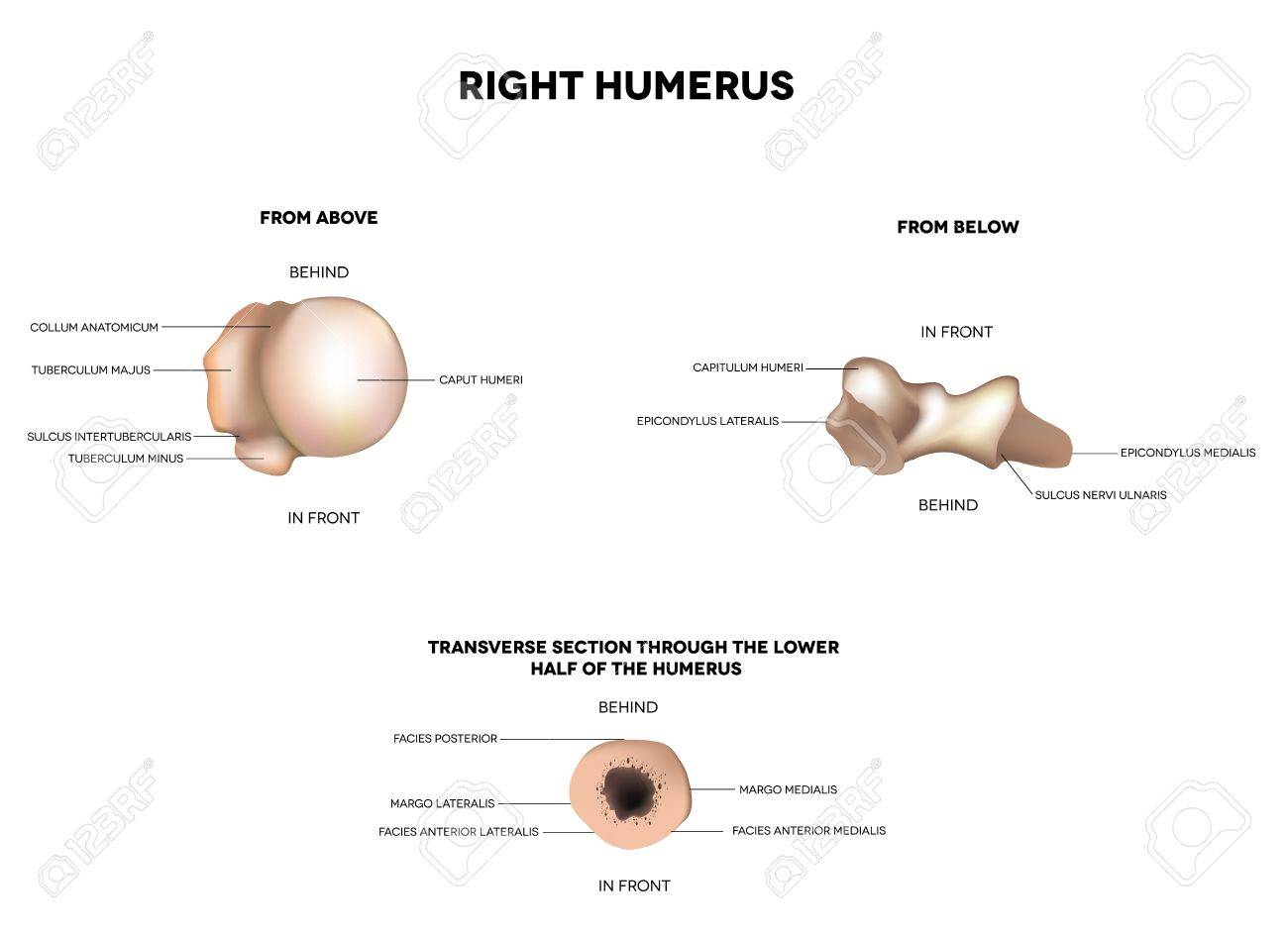 Humerus- upper arm bone, from above, from below and transverse section through of the lower half of the humerus   Detailed medical illustration  Latin medical terms  Isolated on a white background Stock Vector - 19354643