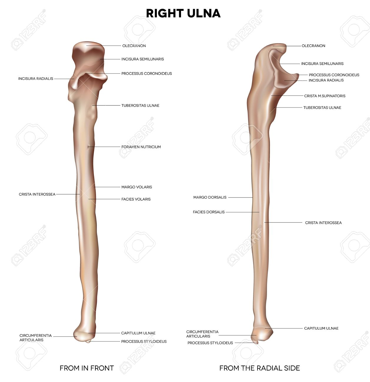 Ulna Detailed medical illustration from in front and the radial side Latin medical terms Isolated on a white background - 19490581
