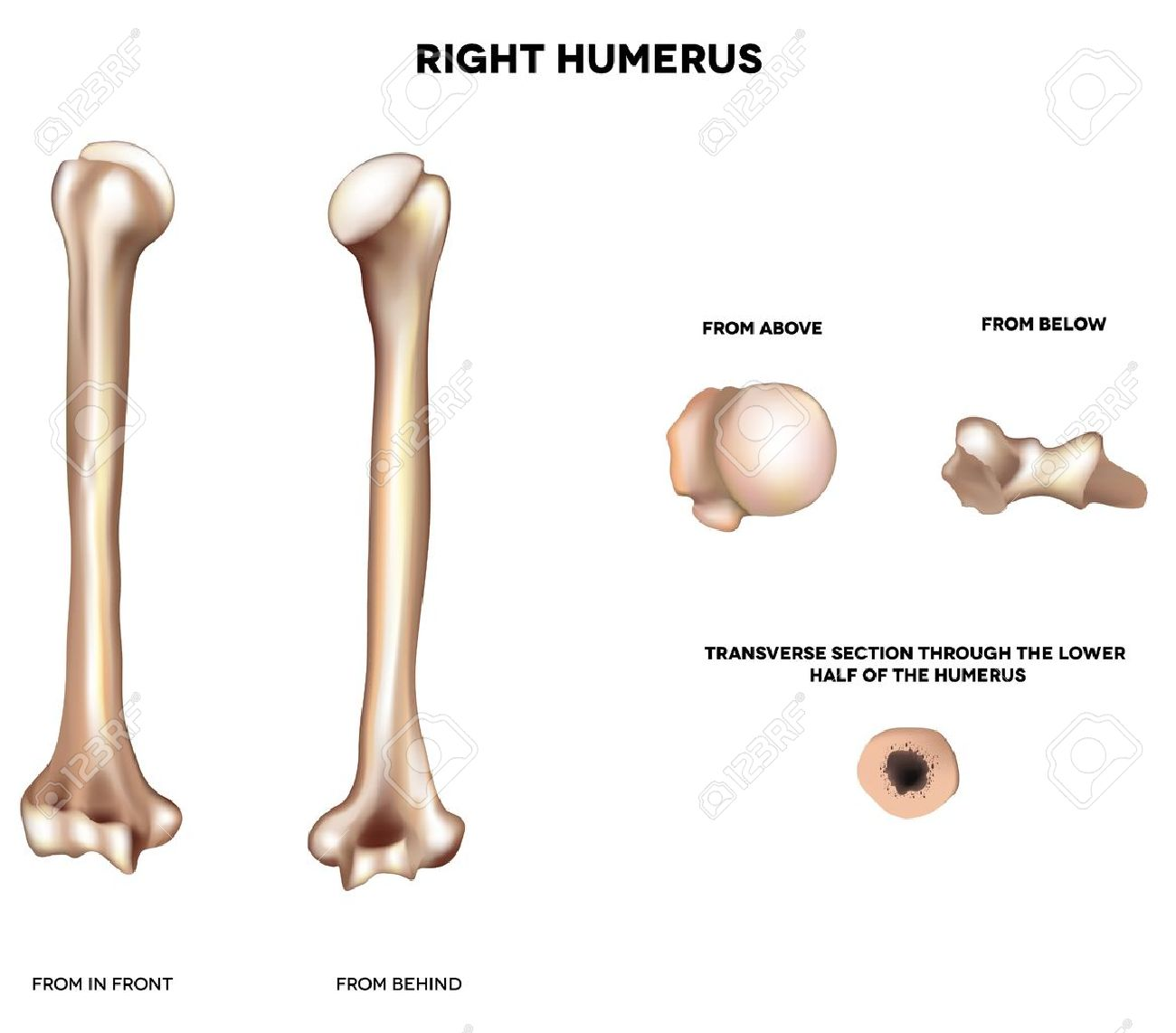 humerus- upper arm bone detailed medical illustration from front, Cephalic Vein
