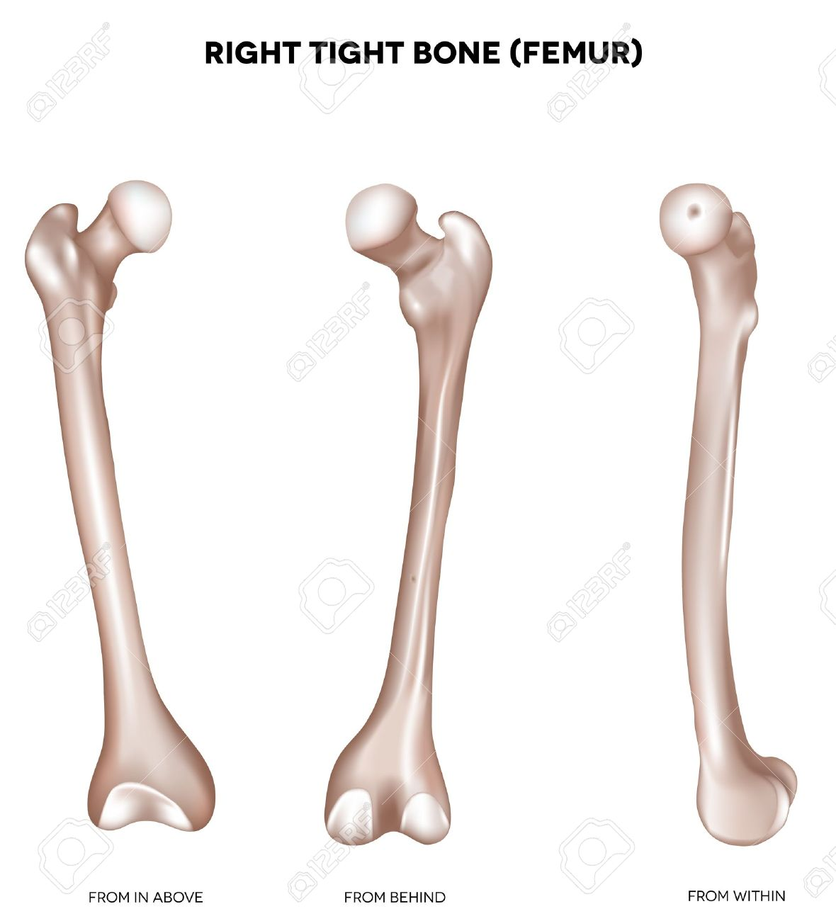 Right tight bone- Femur  Bone of the lower extremity  From above, behind and within  Detailed medical illustration  Isolated on a white background  Bright and clean design Stock Vector - 19890638