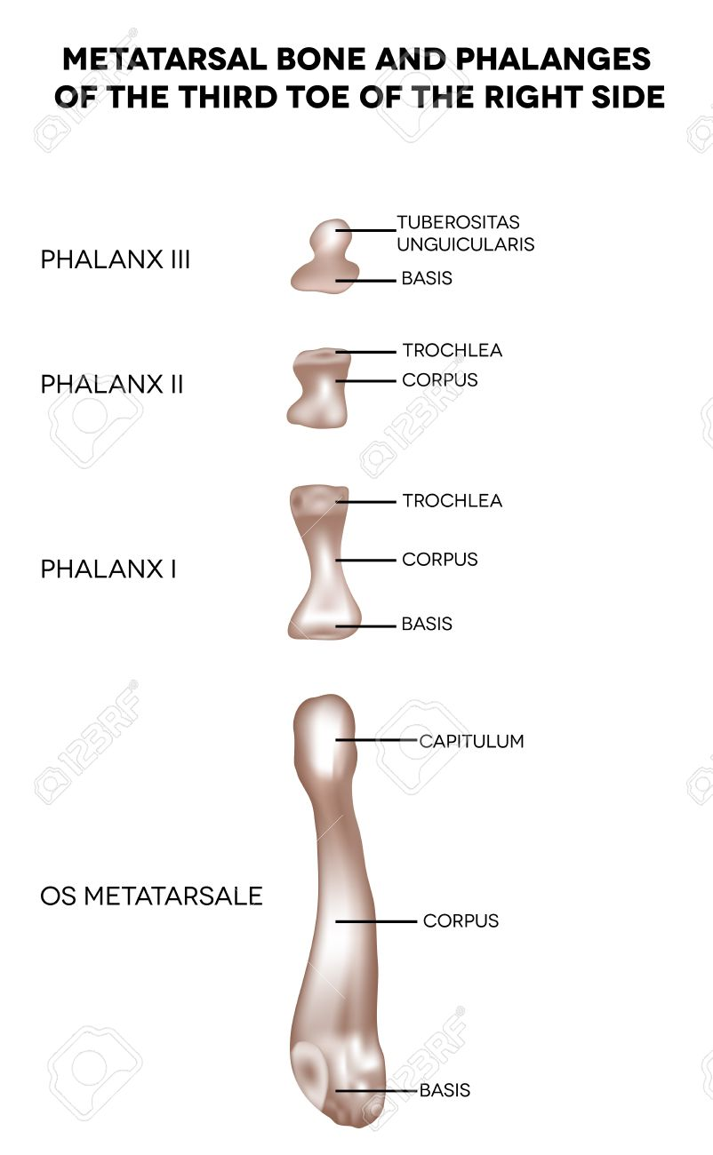 Bones Of The Lower Extremity Metatarsal Bone And Phalanges Of ...
