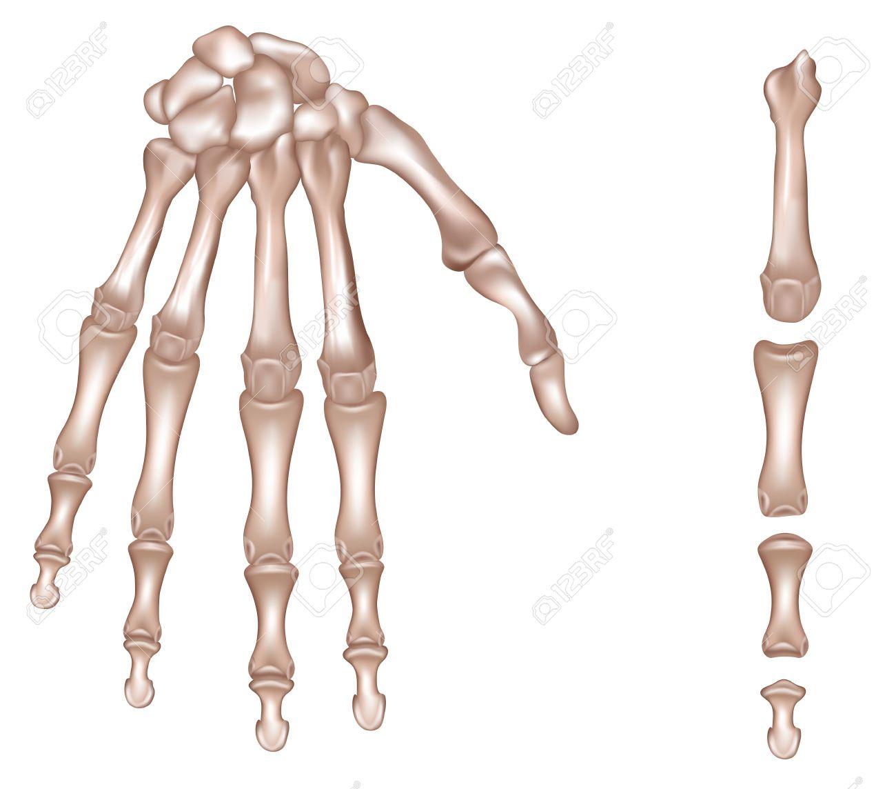 Los Huesos De La Mano Derecha Falanges Del Tercer Dedo De La Mano ...