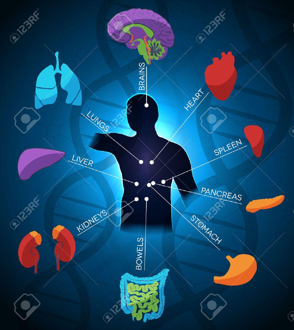 Diseño Colorido Y Brillante Anatomía Humana, La Cadena De ADN En El ...