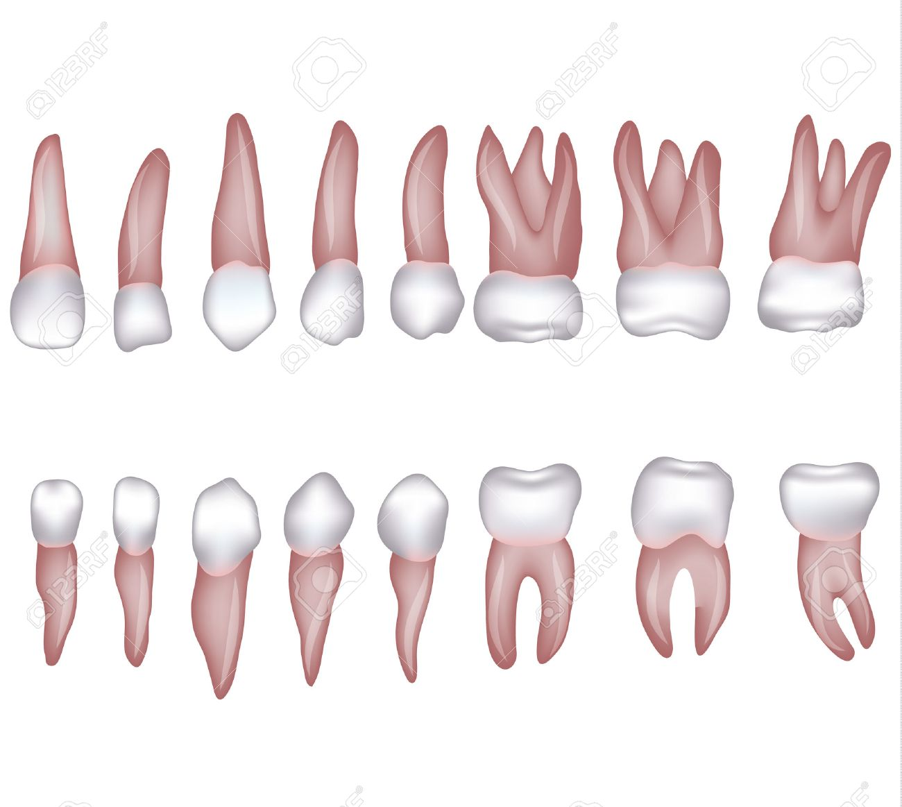 healthy human teeth illustration. isolated on white. royalty free, Human Body
