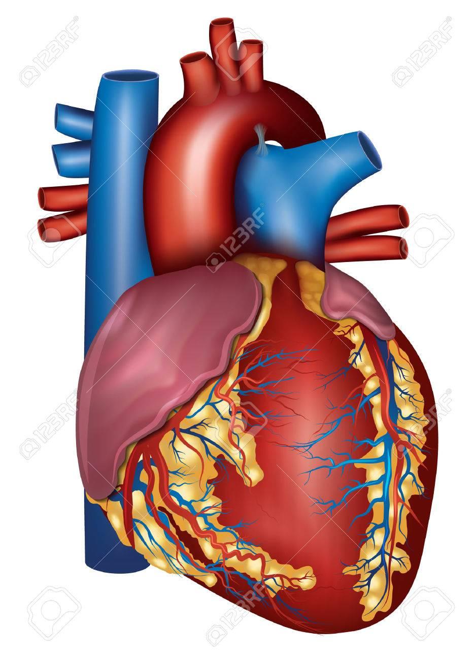 Detallada Anatomía Del Corazón Humano, Aislado En Un Fondo Blanco ...
