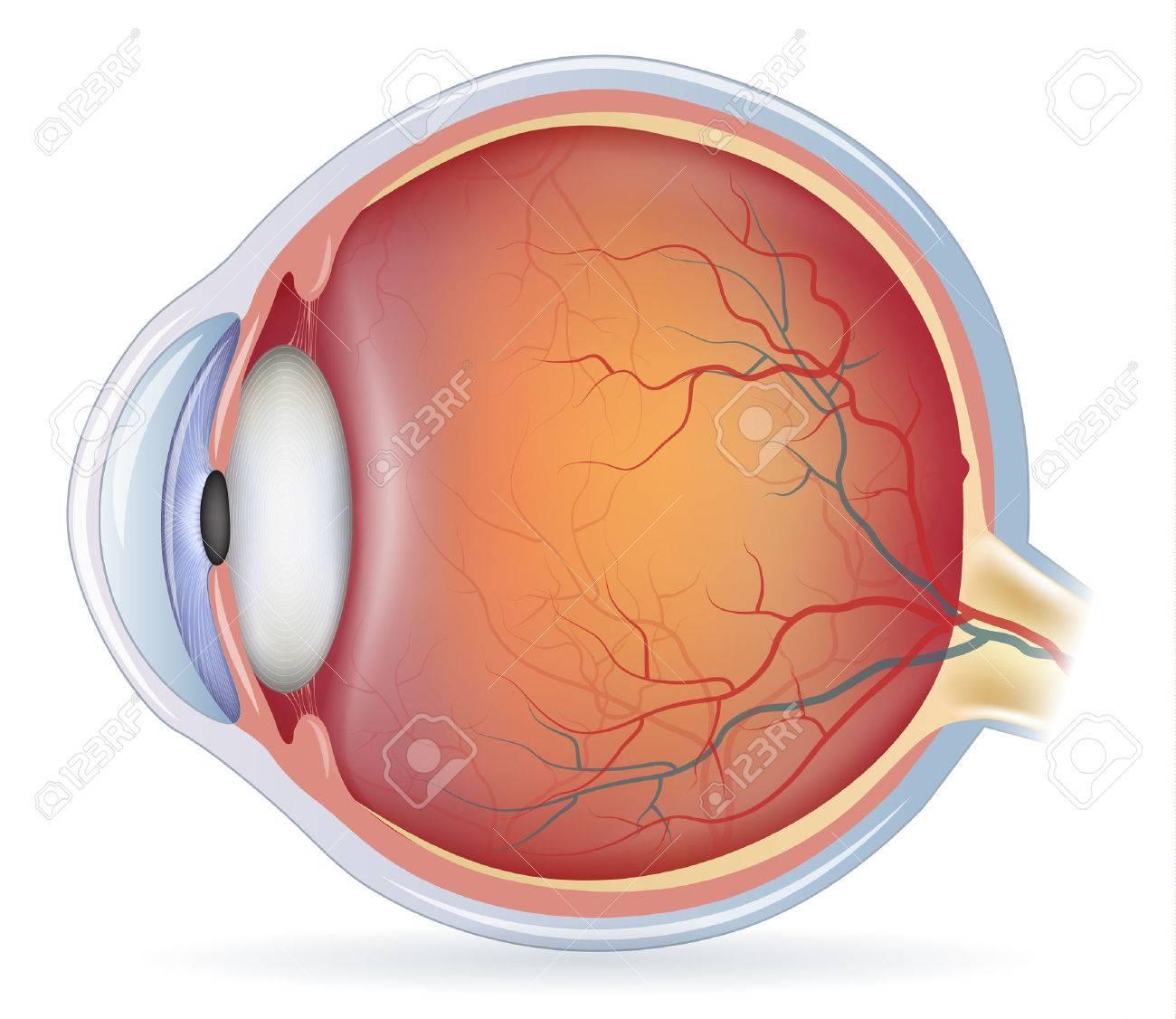 Human Eye Anatomy, Detailed Illustration. Isolated On A White ...