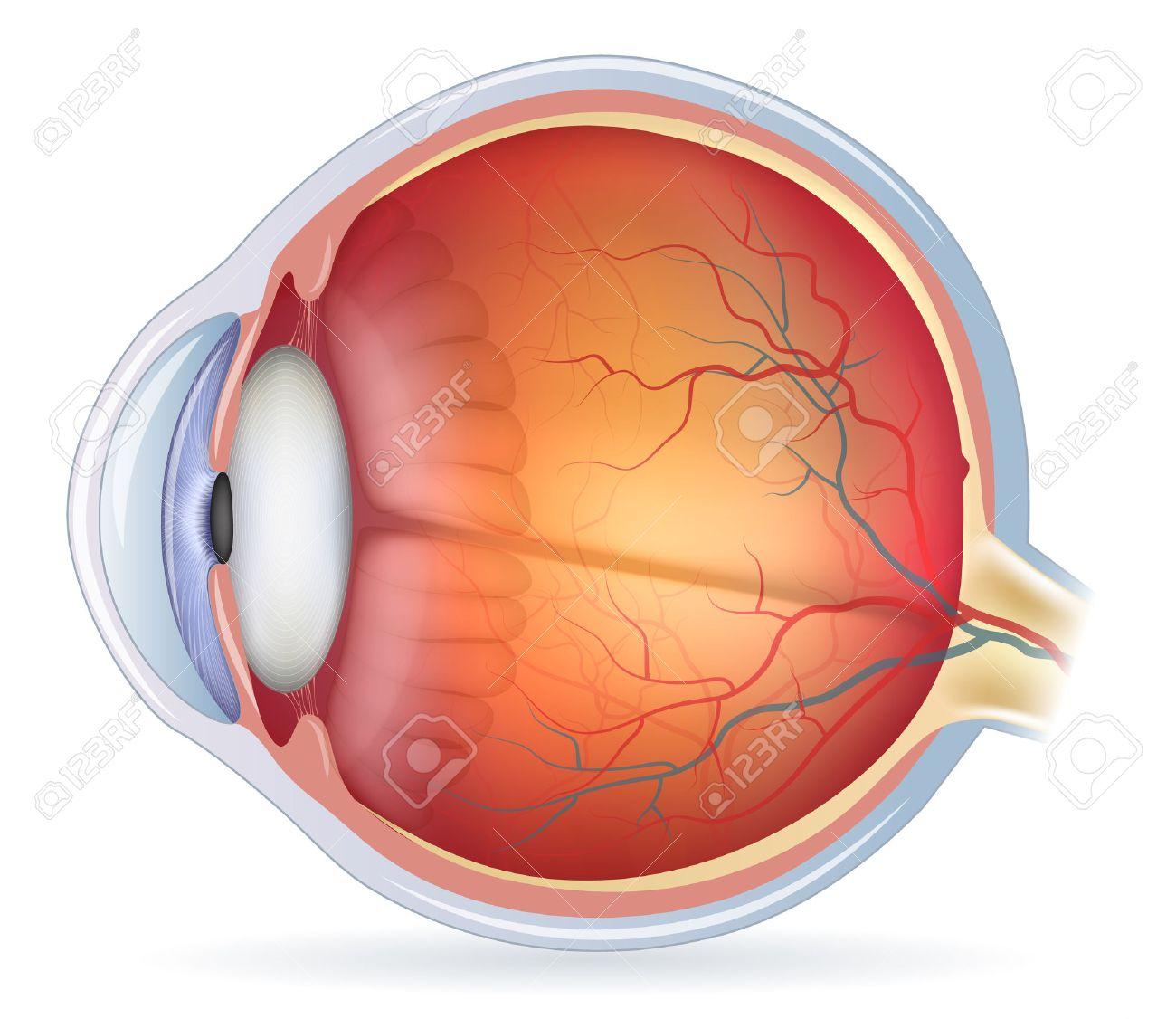 Human Eye Anatomy Diagram, Medical Illustration. Isolated On ...