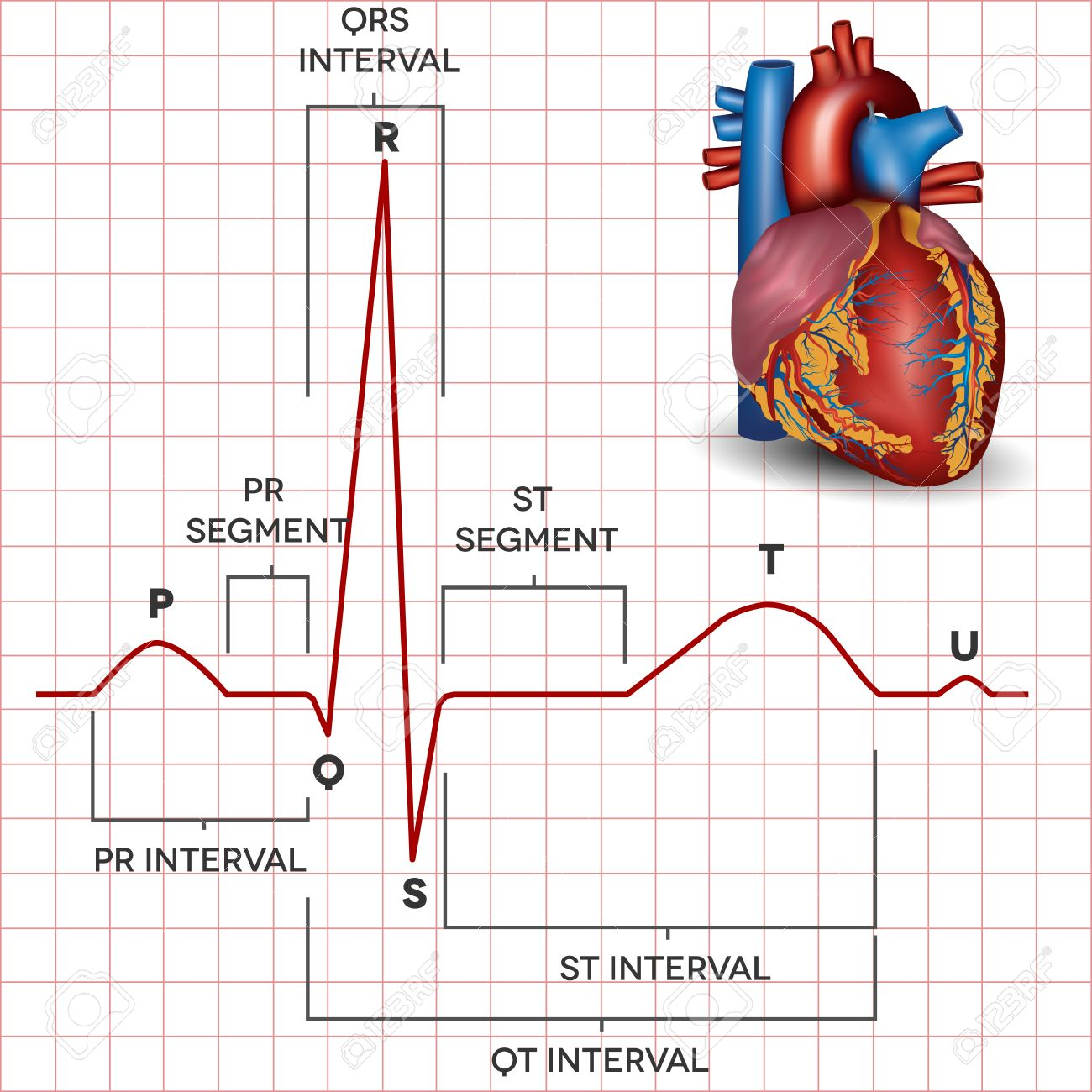 Human Heart Normal Sinus Rhythm And Human Heart Detailed Anatomy ...
