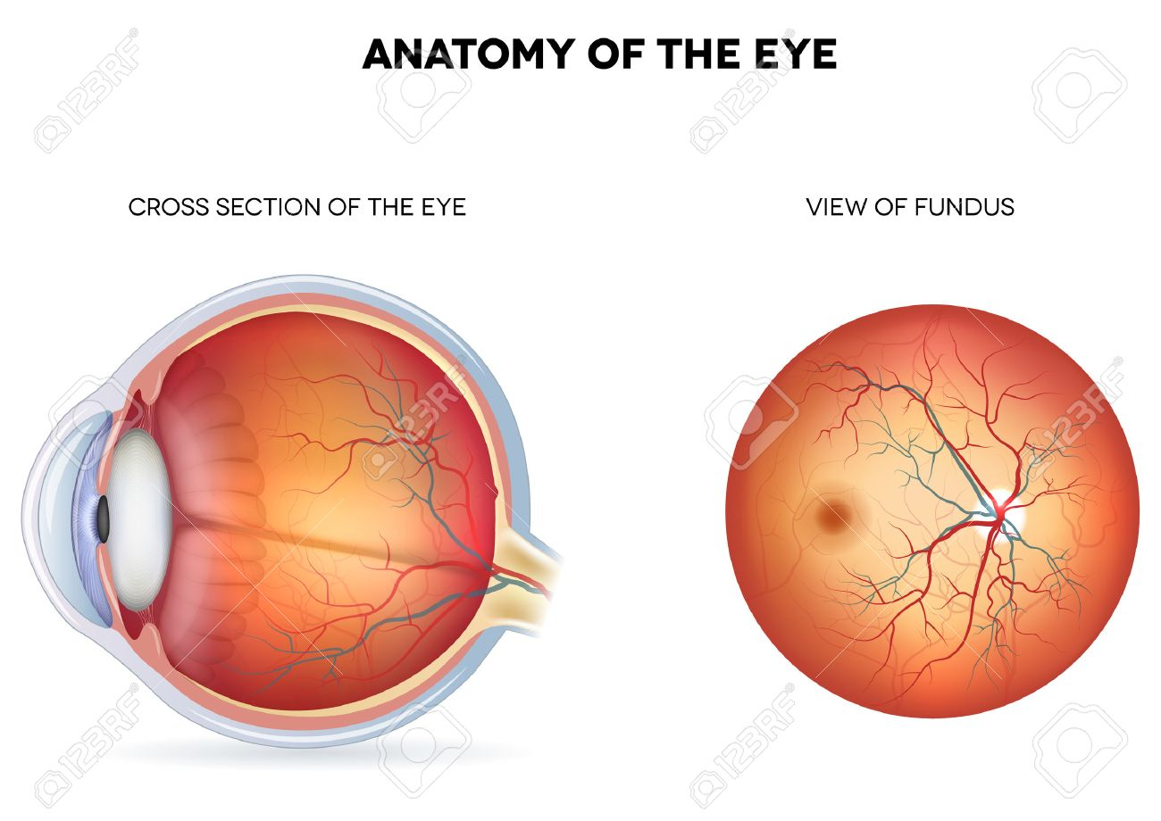 Fundus Diagram Eye - Auto Electrical Wiring Diagram •