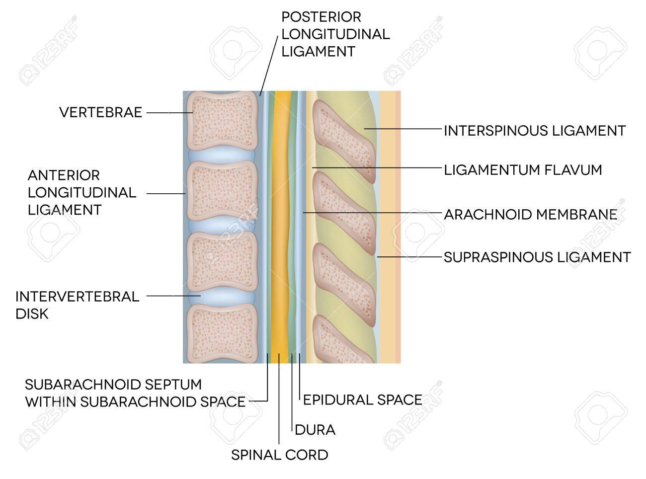 Human Spine Vertebral Bones And Inter Vertebral Disks Royalty Free
